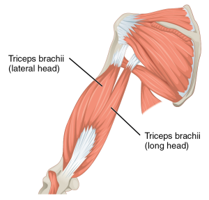 1120_Muscles_that_Move_the_Forearm_Humerus_Ext_Sin